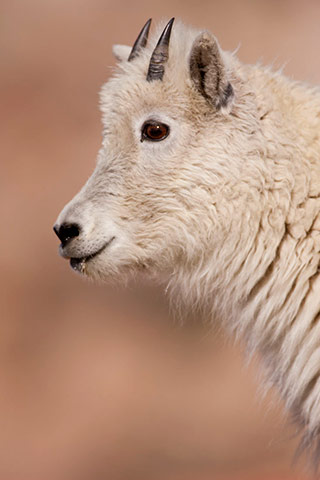 Close-up photo portrait of a young mountain goat with short horns by Andy Long.