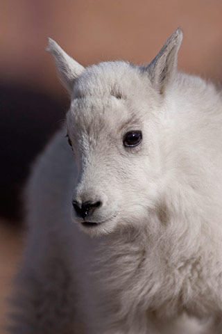 Close-up photo portrait of a newborn mountain goat by Andy Long.