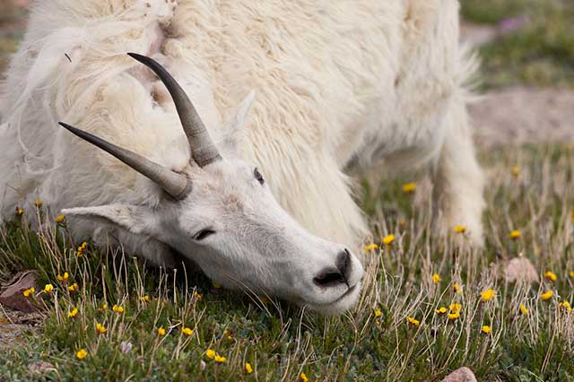 Mountain Goat rubbing its neck on the ground to remove its winter coat by Andy Long.