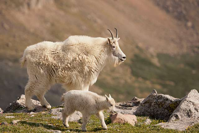 Female mountain goat and kid with mountain backdrop by Andy Long.