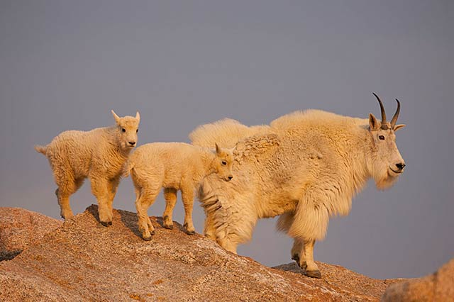 Sunrise photo of female mountain goat and her kids perched on rocks by Andy Long.