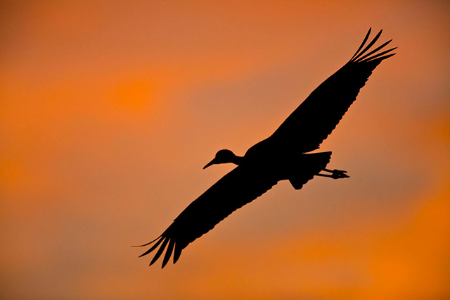 Crane flying in the orange light of sunset at Bosque del Apache National Wildlife Refuge by Andy Long.