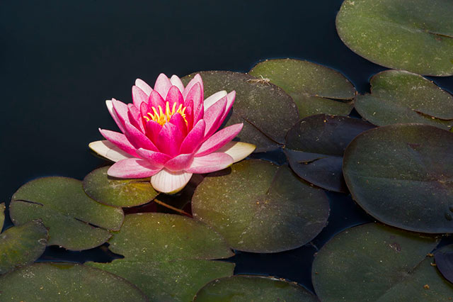 A Water Lily and lily pads lit by natural light by Andy Long.