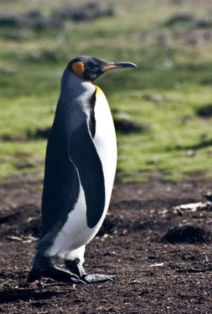 Photo of King Penguin by Noella Ballenger