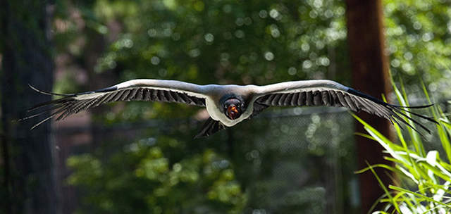 Photo of King Vulture flying straight towards the camera by Brad Sharp.