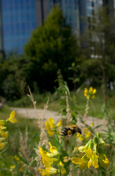 insect photography. Photo of wildflowers and a Bumblebee in the city of Brussels by Edwin Brosens