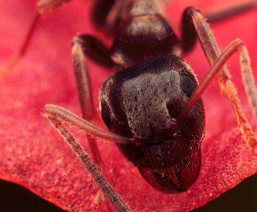 Microphoto of the head of an ant by Huub de Waard.