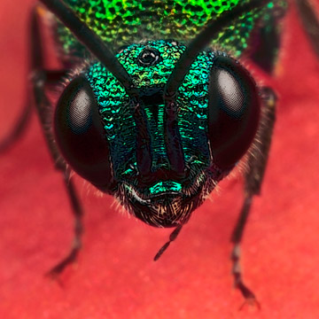 Microphoto of the head of a common Cuckoo Wasp byHuub de Waard.