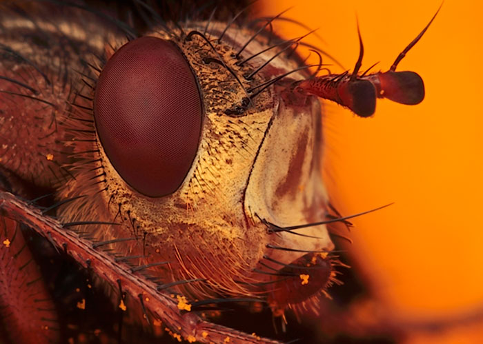 Microphoto of the head of a Tachina Fly by Huub de Waard.