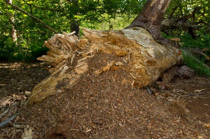 Photo of large Wood Ant nest by Edwin Brosens
