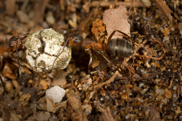 Macro photo of Wood Ant with dried fungi ball by Edwin Brosens