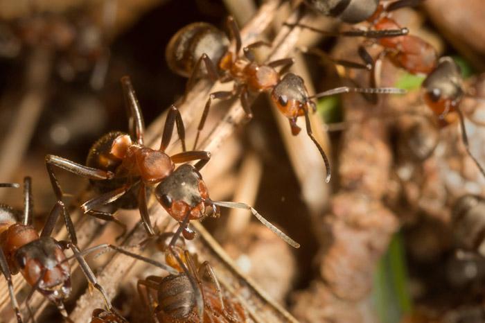 Macro photo of Wood Ants on twig by Edwin Brosens