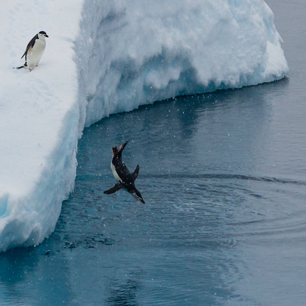Photo of Chinstrap Penguin diving off glacier into water by Michael Leggero.