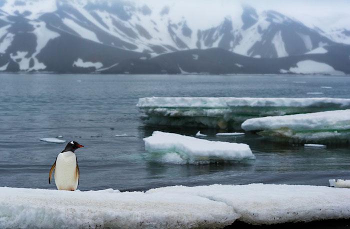 Photo of Gentoo Penguin standing on iceberg in Antarctica by Michael Leggero.