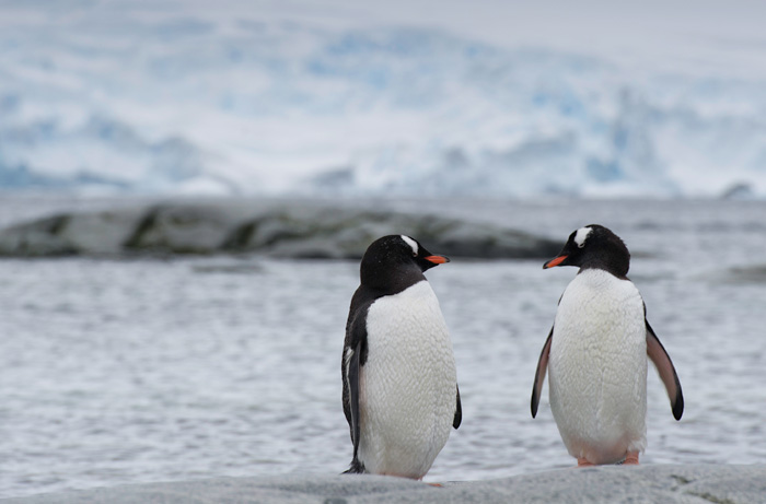Photo of two Gentoo Penguins in front of water and glacier in Antarctica by Michael Leggero.