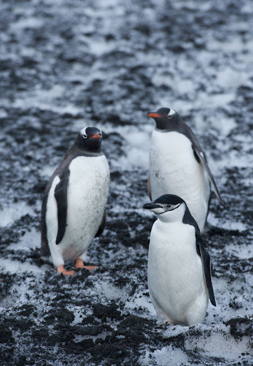 Photo of Gentoo Penguins & lone Chinstrap Penguin in Antarctica by Michael Leggero.