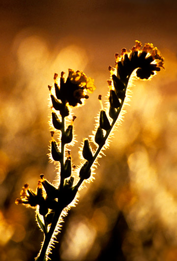 Backlit photo of Fiddleneck weed by Noella Ballenger