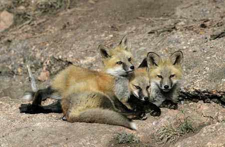 Photo of Red Fox pups by Andy Long
