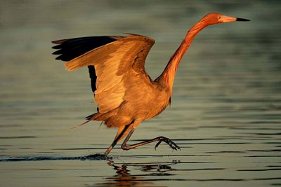 Photo of Reddish Egret by Andy Long
