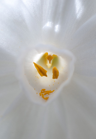 Macro images of the yellow stamen of a white flower by Eva Polak.
