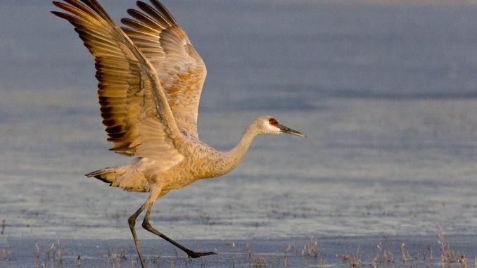 sandhill bird