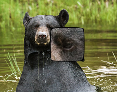 black bear - how to get TACK SHARP images