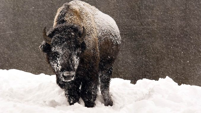 bison-winter