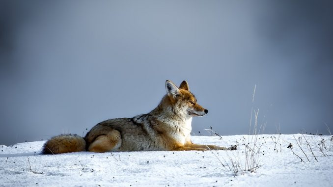 winter-fox