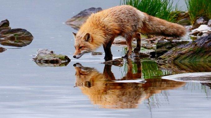 A beautiful red fox is reflected in the mirror-still waters of Karluk Lake. Kodiak Island, Alaska.