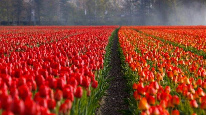 the-tulip-fields-amsterdam