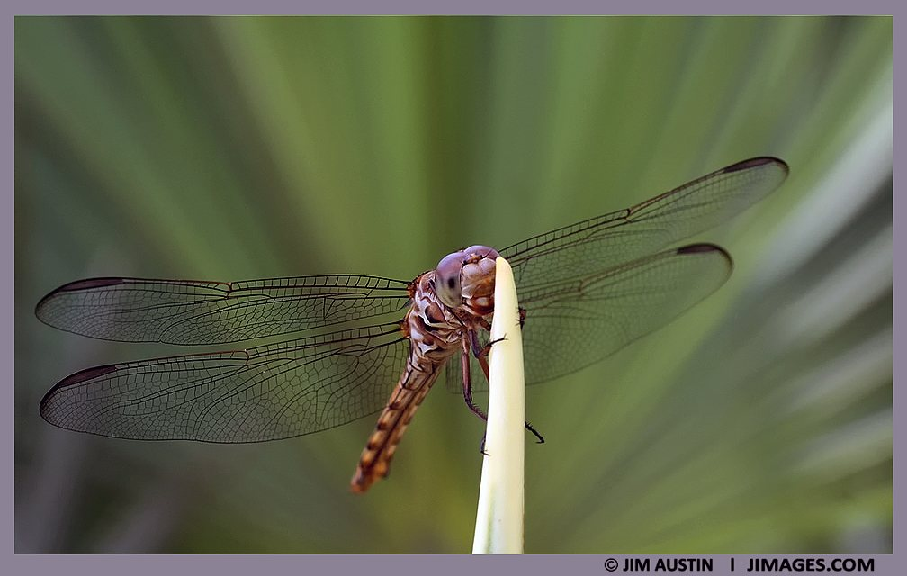 art-of-macro-damselfly-jim-austin-jimagesdotcom