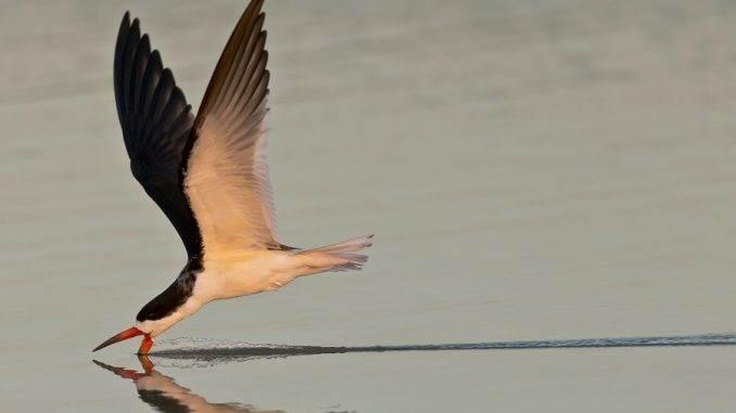 Black Skimmer seabird