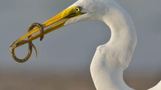 Egret eating eel