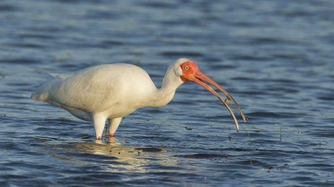 Ibis eating crab