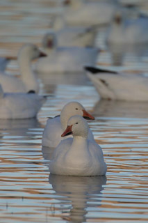 Photo of Snow Geese