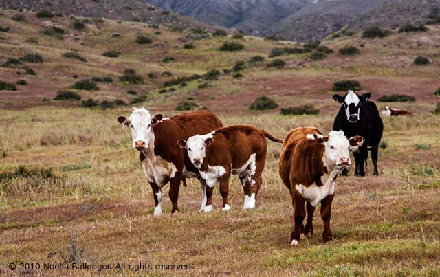 Photo of cattle in a field on the Carrizo Plains by Noella Ballenger.