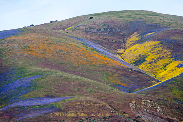 Photo of the Carrizo Plains hills alive with color by Noella Ballenger.
