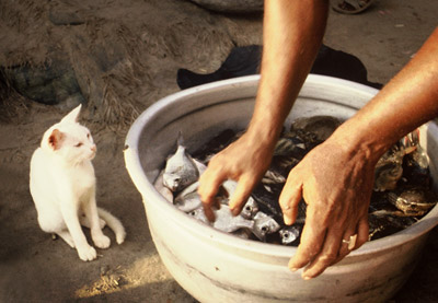 Photo of white cat and fish in Bombay, India by Ron Veto