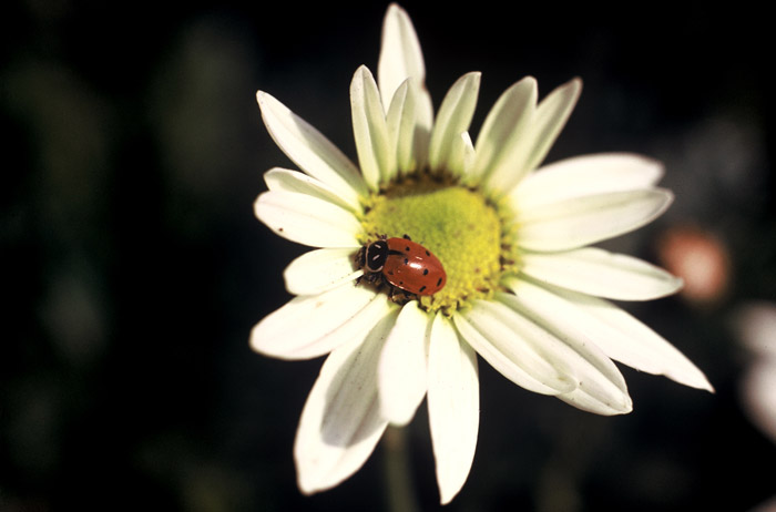 Photo of daisey and lady bug by Ron Veto