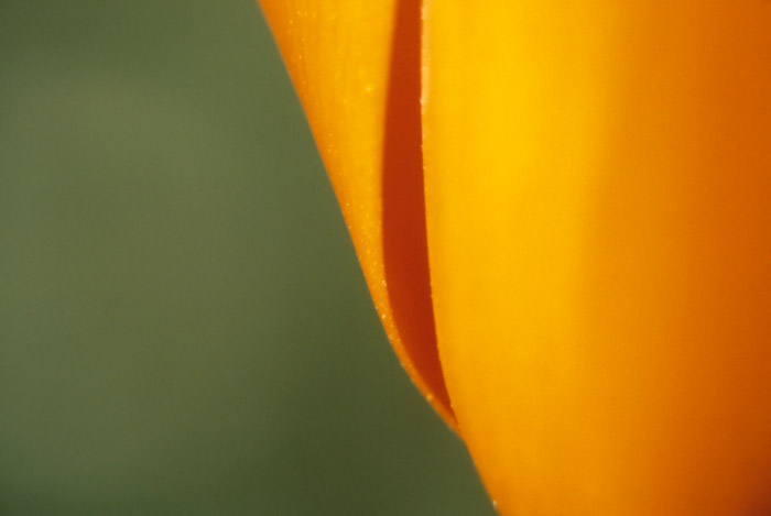Close-up photo of California Poppy by Noella Ballenger