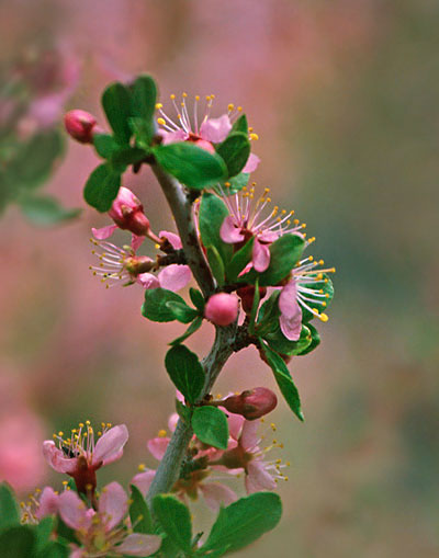 Photo of fruit tree flowers by Noella Ballenger