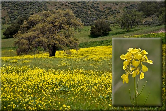 Photo of field of Mustard flowers by Noella Ballenger