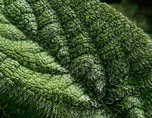 Close-up photo of Lamb's Ear textured leaf by Brad Sharp