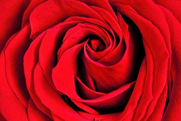 Macro photo of red rose by Brad Sharp