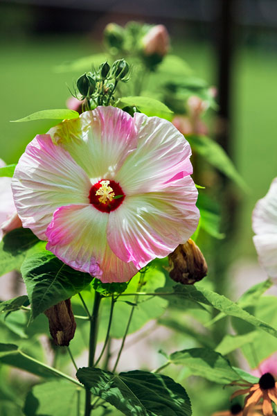 Photo of pink and white Hibiscus - Luna Pink Swirl by Brad Sharp