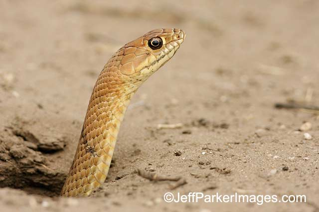 Photographing Snakes in the Wild: close-up image of Western Coachwhip snake popping it head out of a hole in the ground by Jeff Parker.