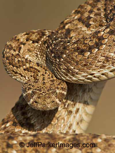 Photographing Snakes in the Wild: close-up image of coiled up Western Diamondback Rattlesnake by Jeff Parker.