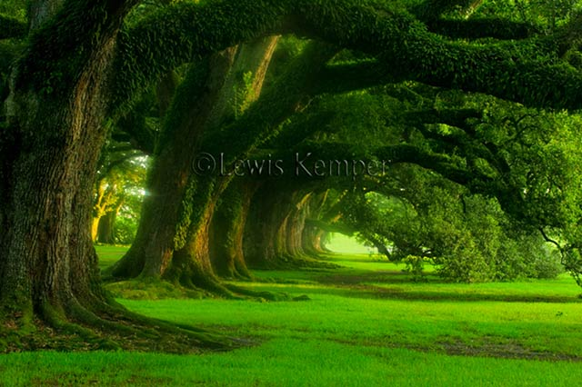 Beautiful green oak trees and grass in Oak Alley, Louisiana by Lewis Kemper.