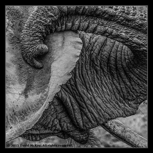 Black and white close-up image of an elephant by David McKay.