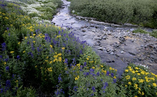 Mountain stream & wildflower photo by Andy Long